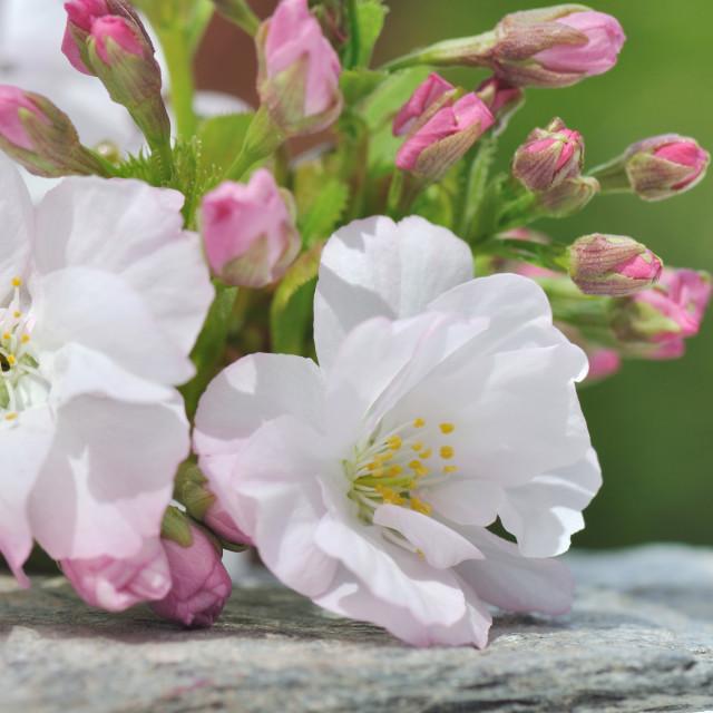 """pretty cherry flowers"" stock image"