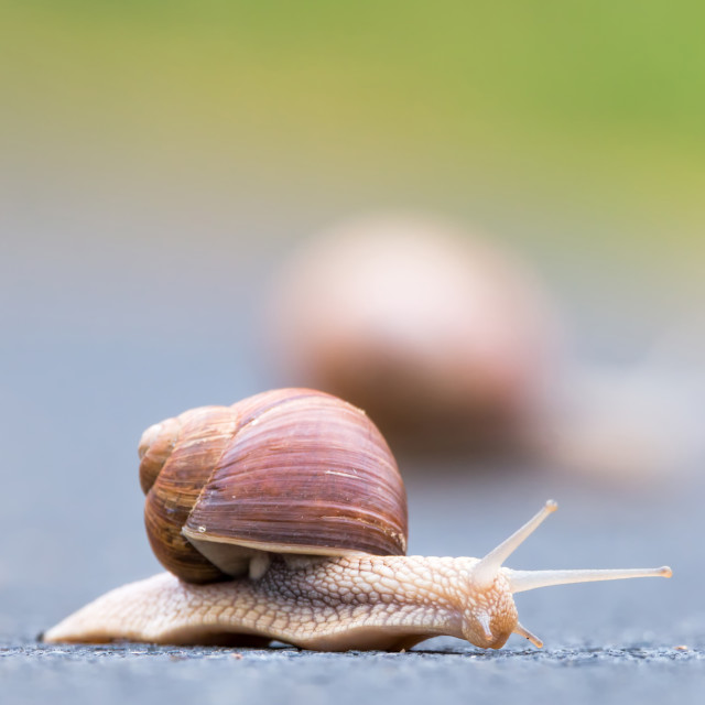 """Burgundy snail (Helix pomatia)"" stock image"