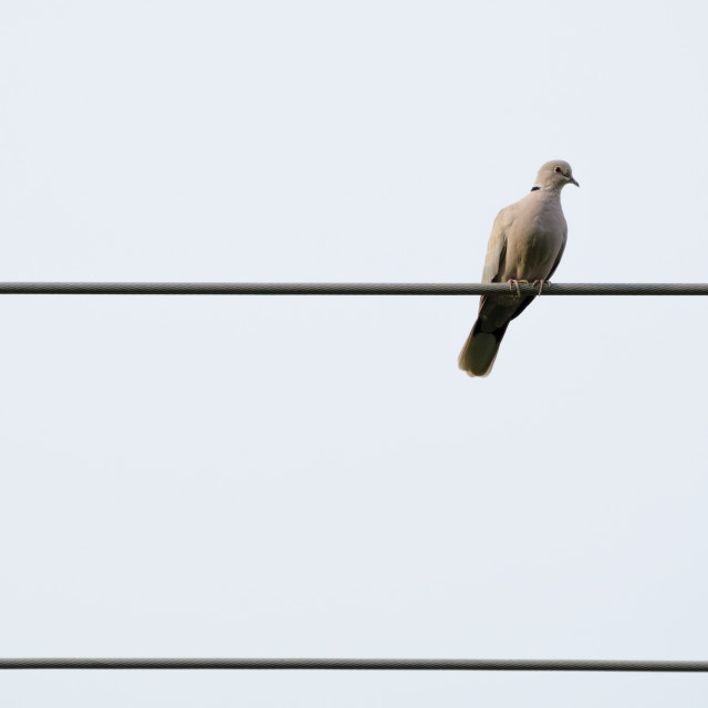 """""""Pigeon on Electric Wire"""" stock image"""