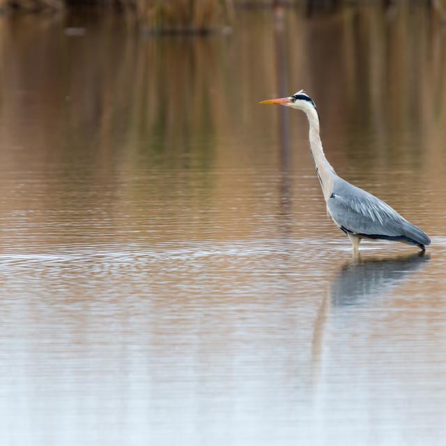 """""""Gray heron i"""" stock image"""
