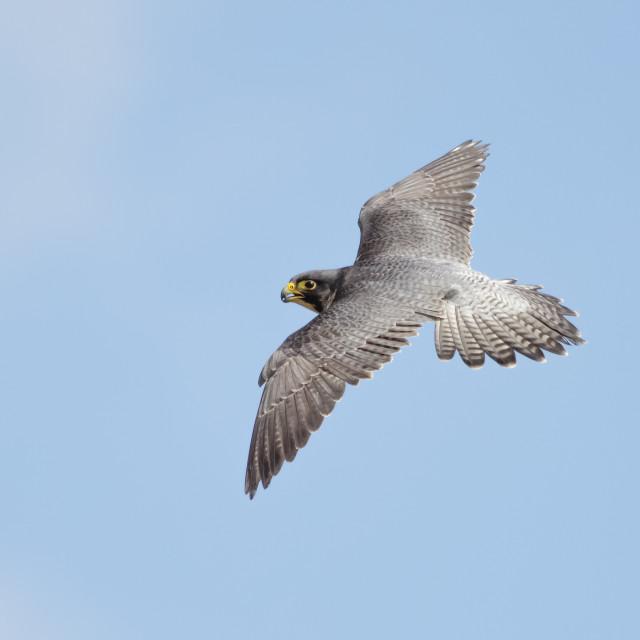 """Peregrine Falcon (Falco peregrinus)"" stock image"