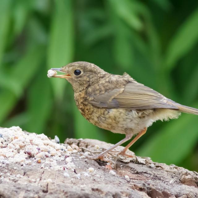 """""""Juvenile European Robin (Erithacus rubecula)"""" stock image"""