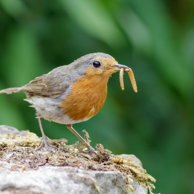"""""""European Robin (Erithacus rubecula) with mealworms"""" stock image"""