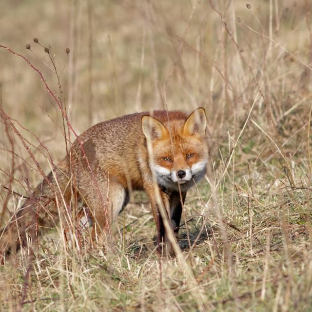 """""""Red Fox (Vulpes vulpes)"""" stock image"""