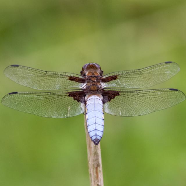 """Male Broad-bodied Chaser (Libellula depressa)"" stock image"