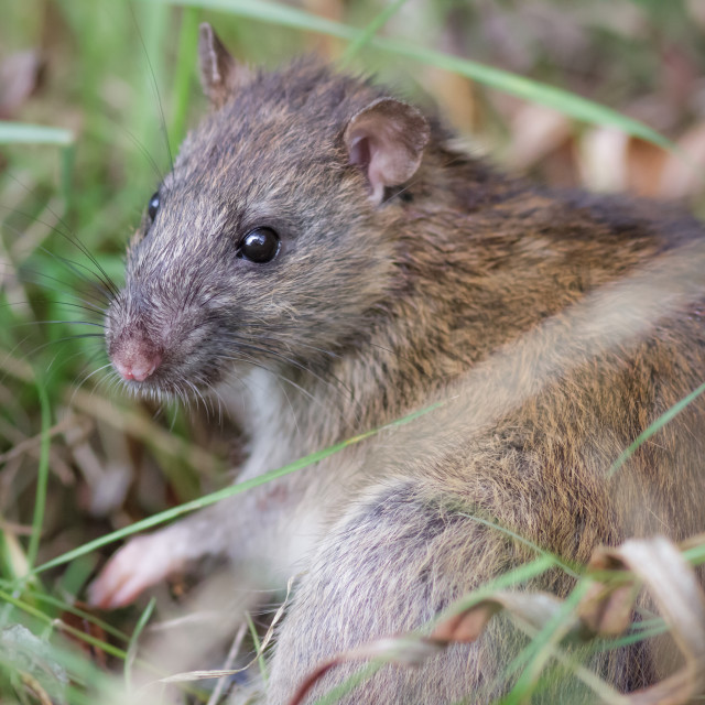 """Brown Rat (Rattus novegicus)"" stock image"
