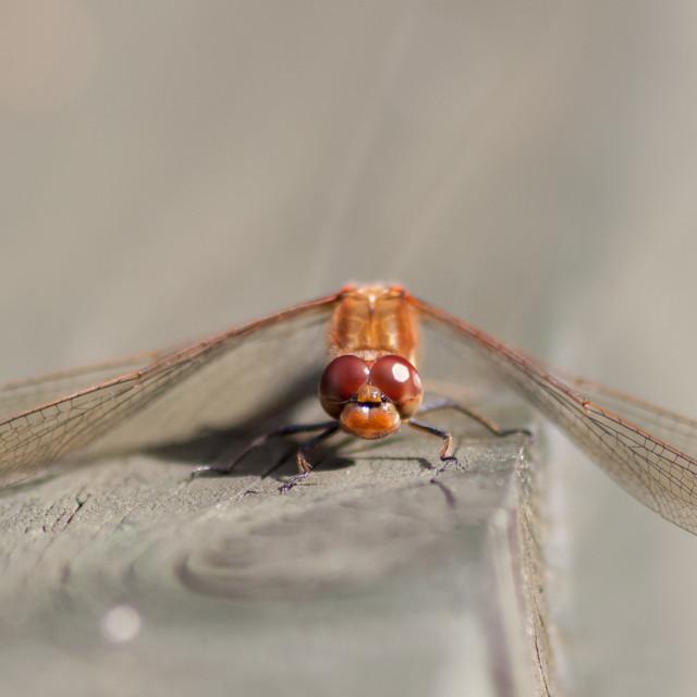 """""""Male Common Darter (Sympetrum striolatum)"""" stock image"""