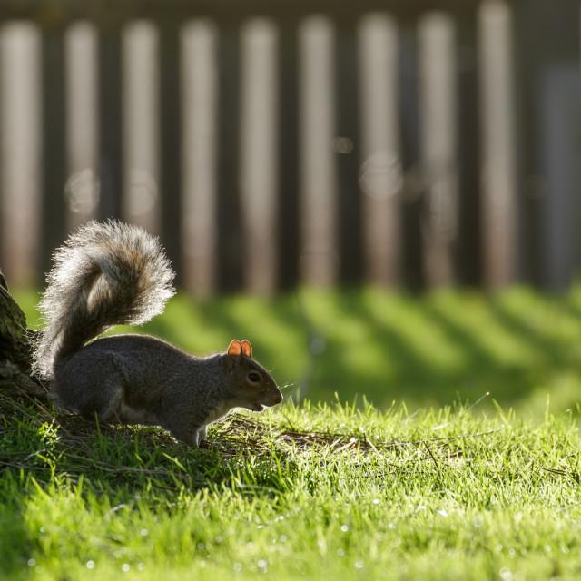 """""""Grey Squirrel (Sciurus carolinensis)"""" stock image"""