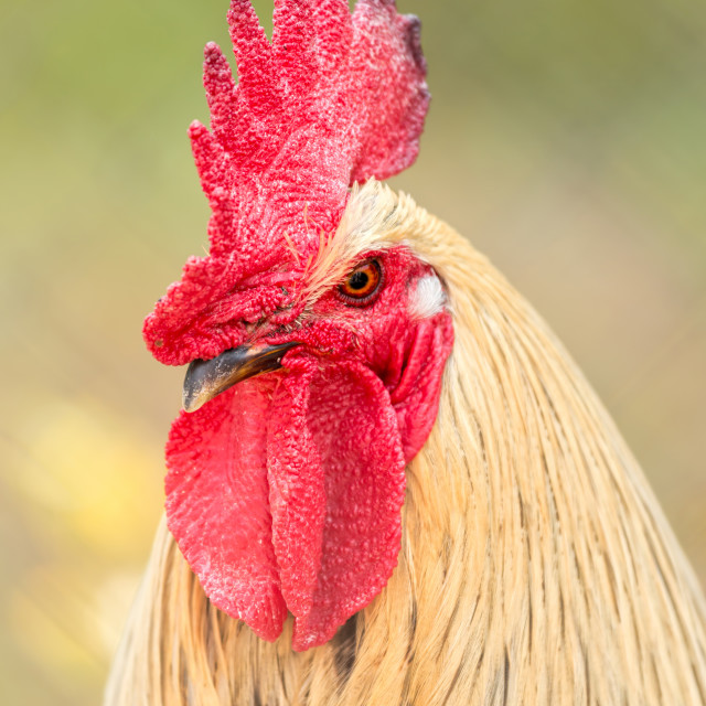 """Red cock portrait"" stock image"