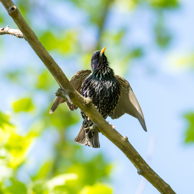 """""""European starling on the branch"""" stock image"""