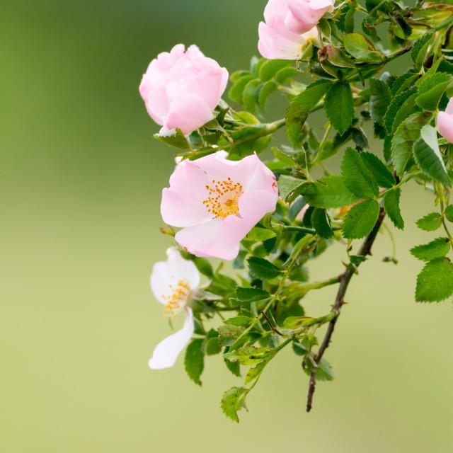 """Beautiful blooming wild rose bush"" stock image"