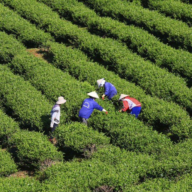 """""""A group of farmers picking tea"""" stock image"""