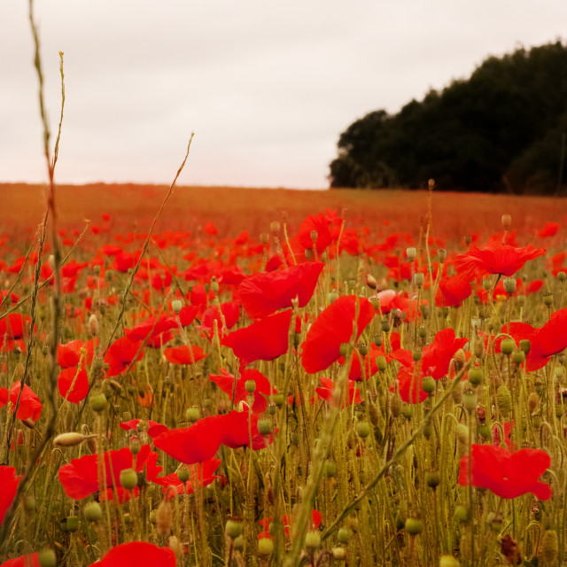 """Poppy Field"" stock image"