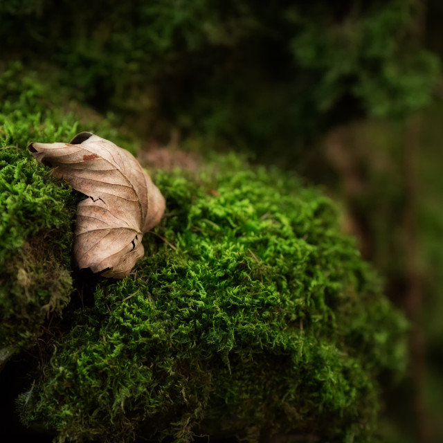 """Leaf on Moss"" stock image"