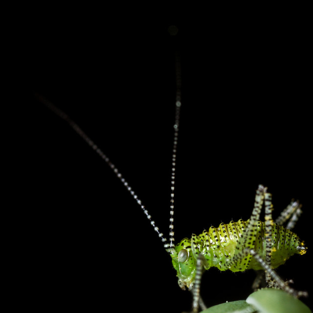"""""""Speckled Bush Cricket nymph"""" stock image"""