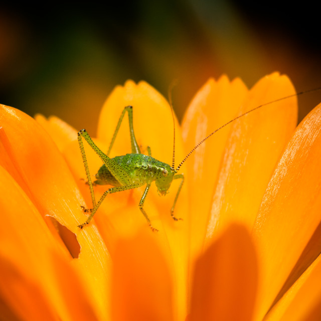 """""""Speckled Bush Cricket nymph (Leptophyes puctatissima)"""" stock image"""
