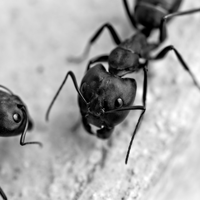 """""""Two Carpenter Ants"""" stock image"""
