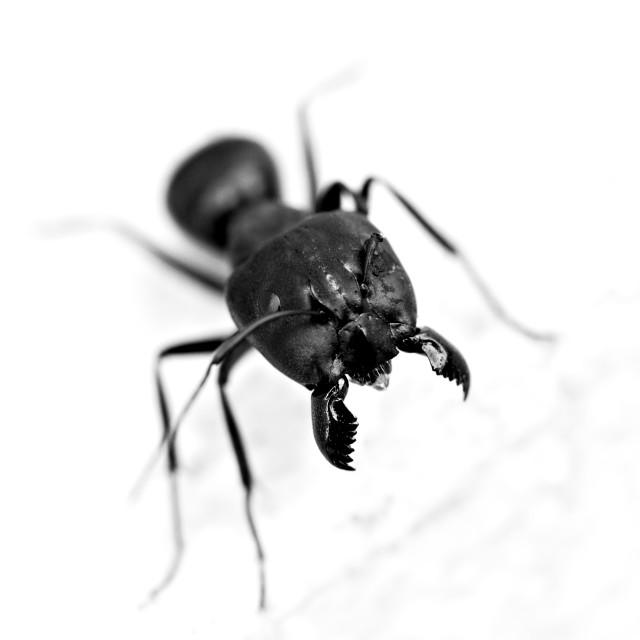 """Carpenter Ant"" stock image"