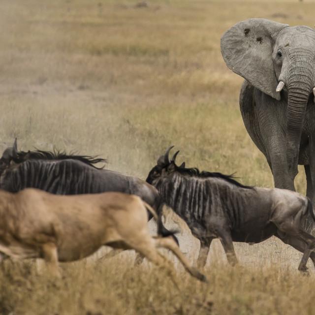 """An Angry Elephant"" stock image"