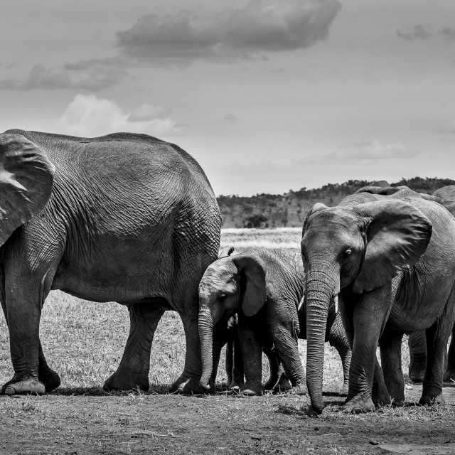 """Elephants - Tanzania"" stock image"