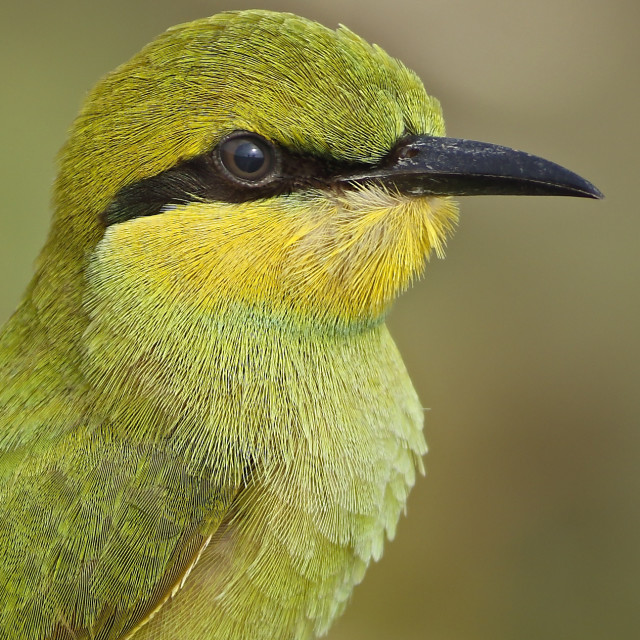 """Little Green bee eater"" stock image"