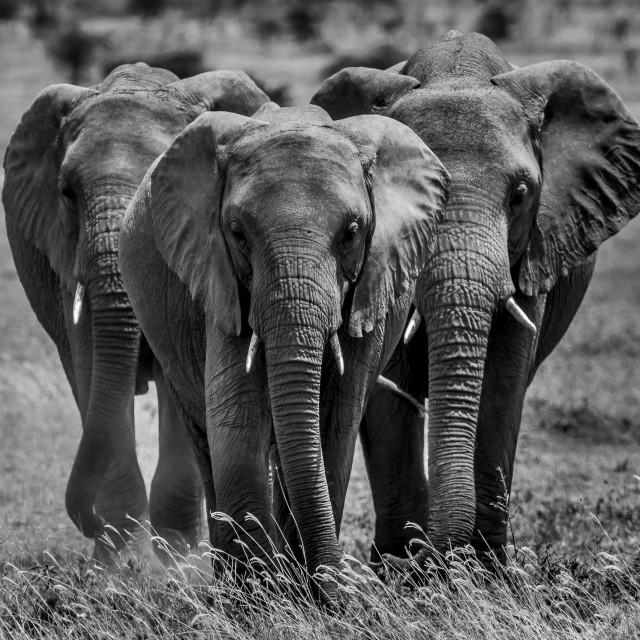 """""""Elephant - Tanzania"""" stock image"""