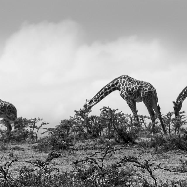 """Masaai Giraffes"" stock image"