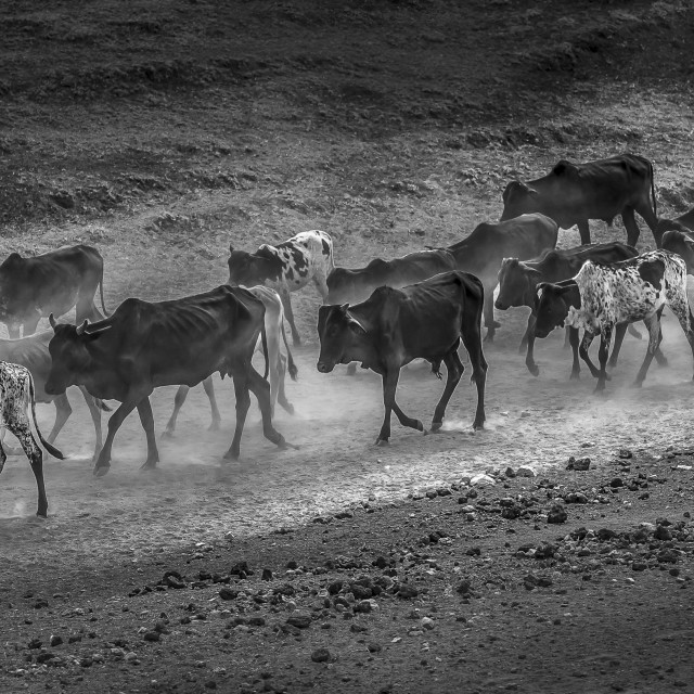 """Masaai's Cows"" stock image"