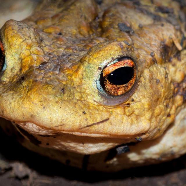 """""""Frog Closeup"""" stock image"""