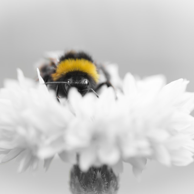 """Portrait of a Bumblebee"" stock image"