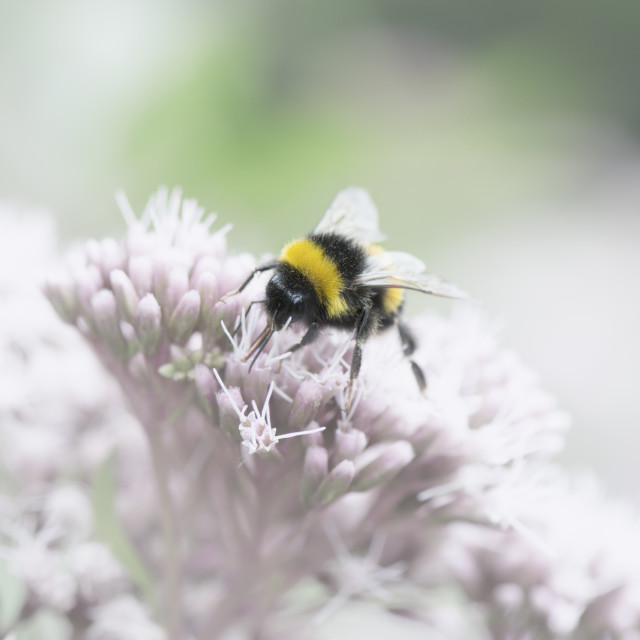"""""""Bumblebee Wonderland 2"""" stock image"""