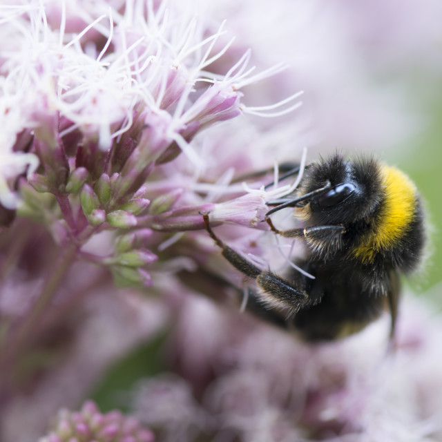 """""""Bumblebee Wonderland"""" stock image"""