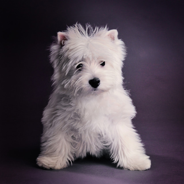 """""""West highland terrier puppy"""" stock image"""