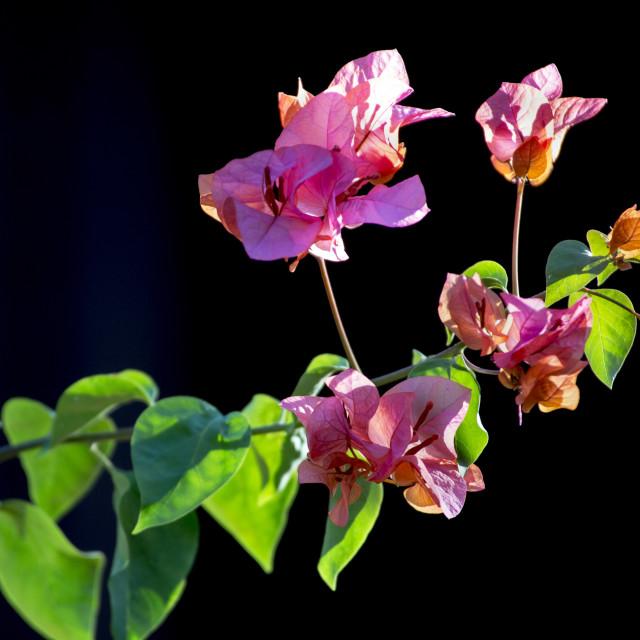 """Bougainvillea flowers"" stock image"