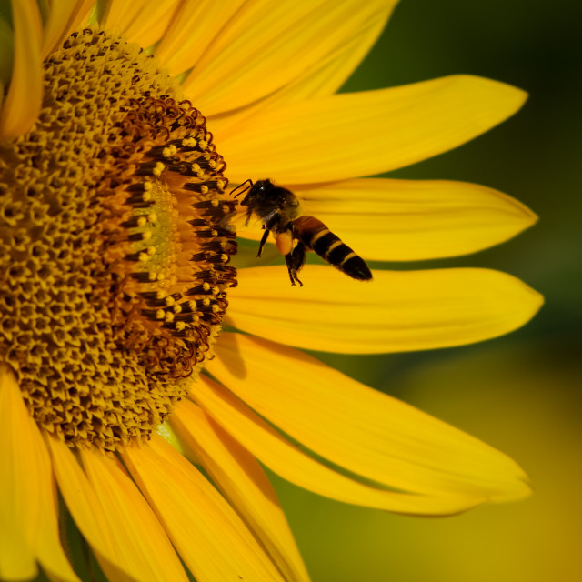 """""""Honey bee vs sunflower"""" stock image"""