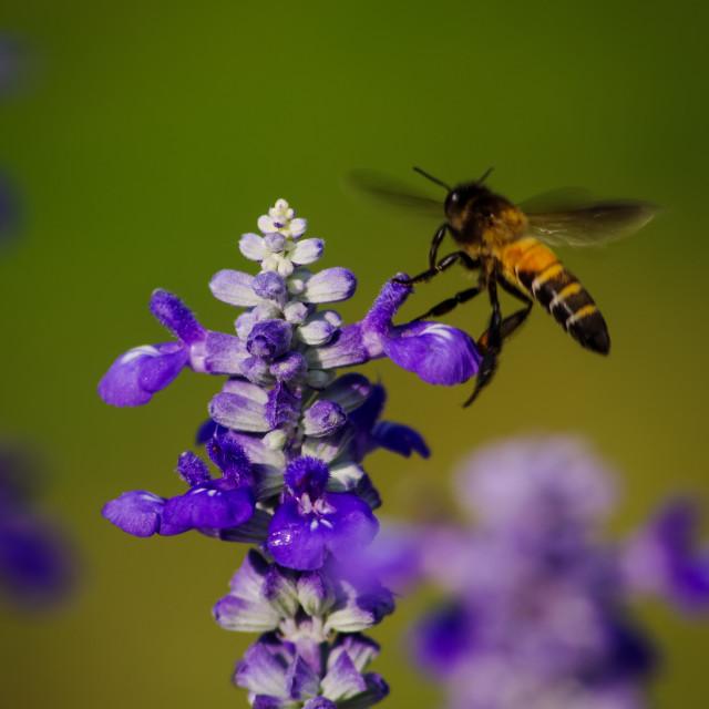 """Honey bee vs lavender"" stock image"
