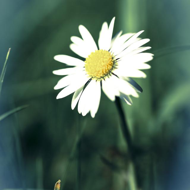 """Lawn daisy"" stock image"