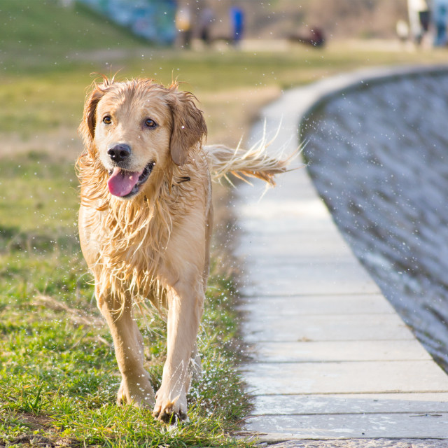 """wet golden retriever"" stock image"
