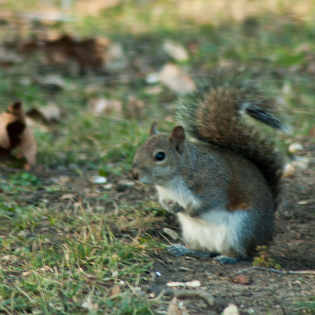 """""""Squirrel"""" stock image"""