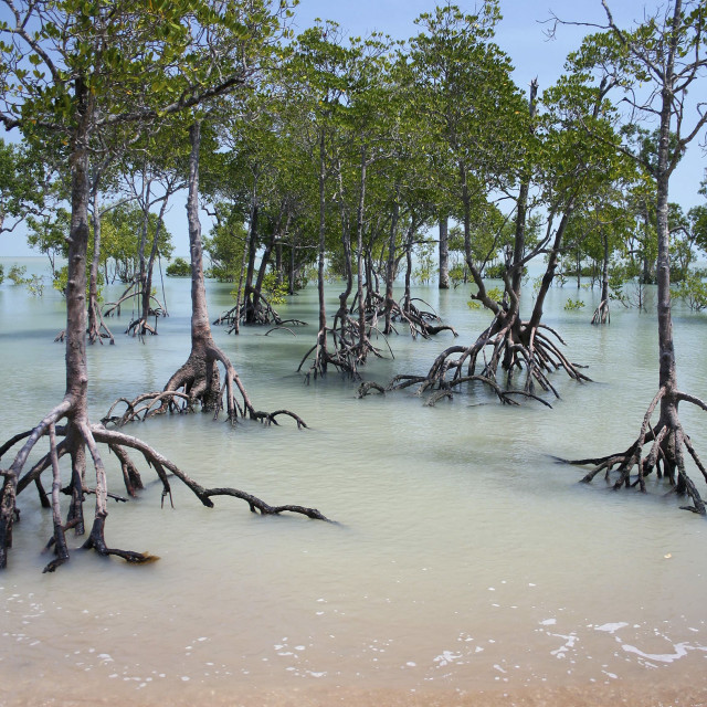 """Mangroves"" stock image"