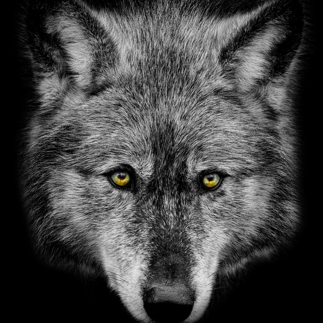 """Wolf Stare"" stock image"
