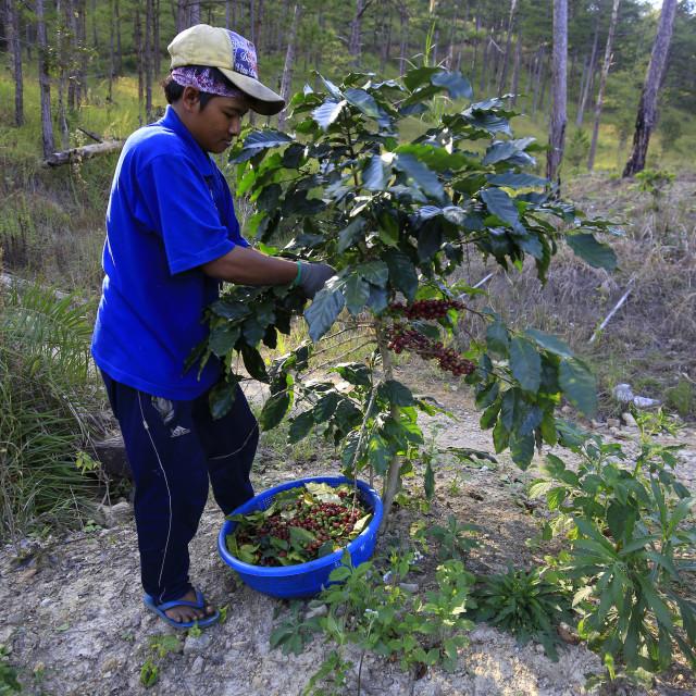 """Farmer harvesting red coffee"" stock image"