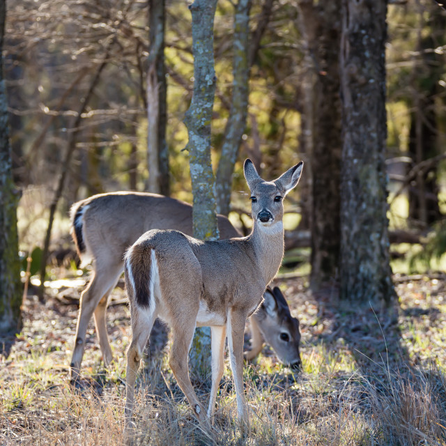 """""""White-Tailed Deer in the woods"""" stock image"""