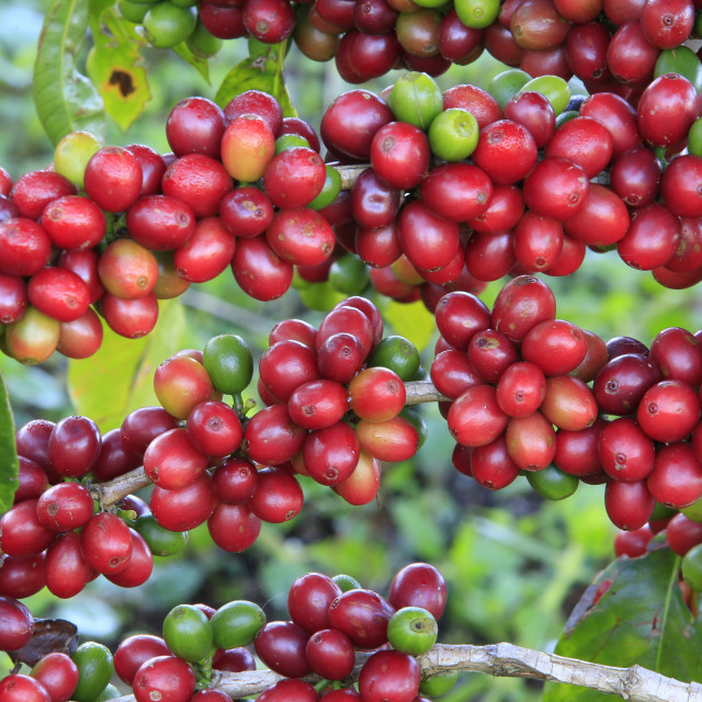 """Coffee tree with coffee bean on cafe plantation"" stock image"