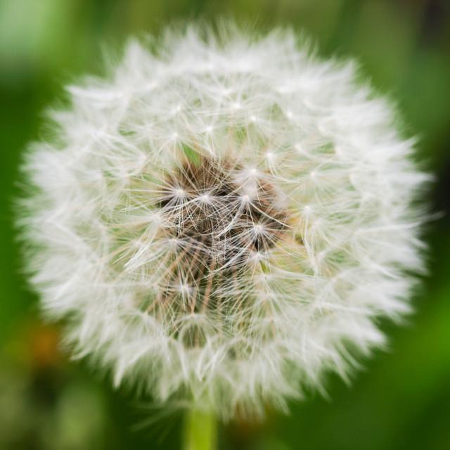 """White Dandelion"" stock image"