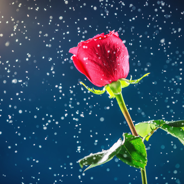 """Red rose on snow background"" stock image"