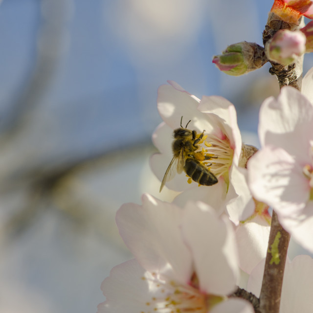 """Honey bee honeybee on sweet almond blossom, Prunus dulcis, flowering"" stock image"