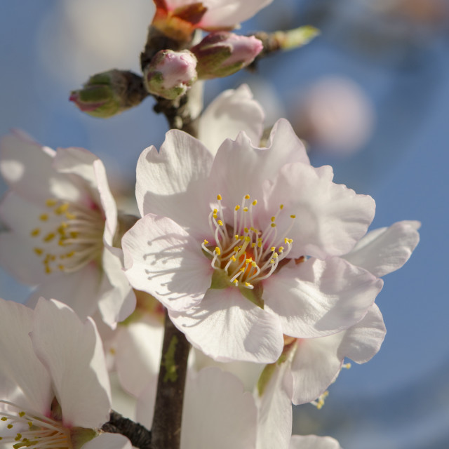 """Sweet almond blossom, Prunus dulcis, flowering,"" stock image"