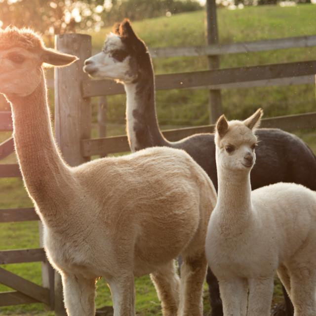 """""""3 alpacas"""" stock image"""