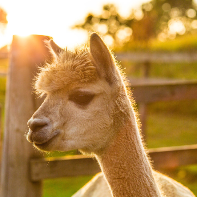 """Alpaca sunset"" stock image"